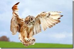 owl-wings-spread